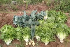 Primera-cosecha-del-taller-de-agricultura-del-CRIS-de-Segorbe-2