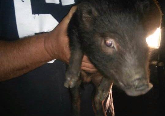 Cerdo vietnamita encontrado en la vivienda
