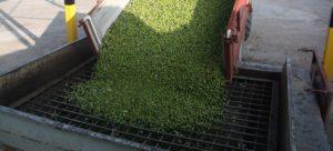 Segorbe licita la recolección de las olivas de sus parques y jardines